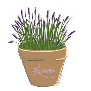 lavender illustration by Lynn Quire