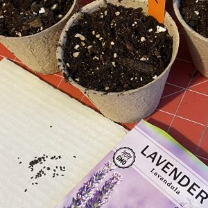 lavender seeds and compost