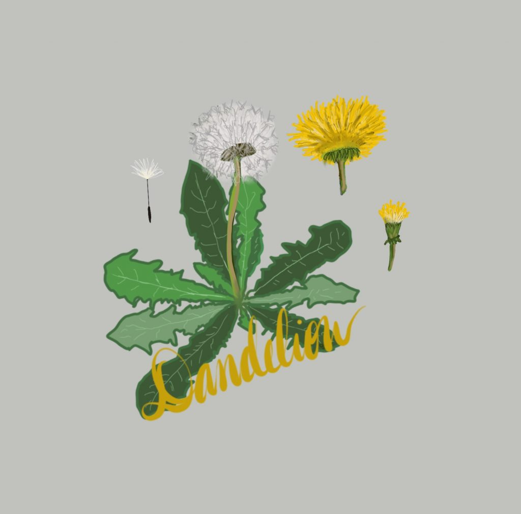 Spicy Fridays with Lynn Quire: Dandelions are Lion's Teeth image