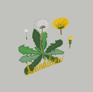 dandelions are lion teeth